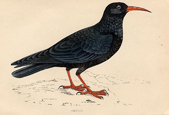 Anon%20-%20Chough%20web